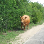 Moo ve over we share the road too